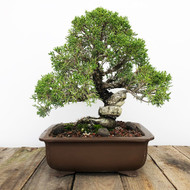 "35+ year Old Shimpaku Juniper ""Kishu"" Grafted (WEB 600)"