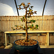 Chinese Quince (6+ Years Old)