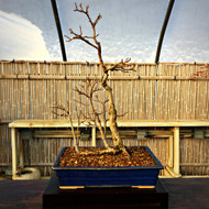 Chinese Elm Grove (5+ Years Old)