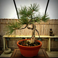 Mountain Collected Ponderosa Pine (35+ Years Old)