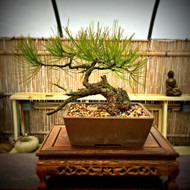 Mountain Collected Semi-Cascade Ponderosa Pine (35+ Years Old)