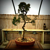 West Coast Shimpaku Juniper (15+ Years Old)