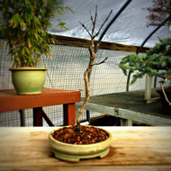 Japanese Maple (3+ Years Old)