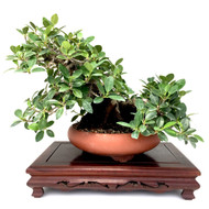 Well Developed Green Island Ficus
