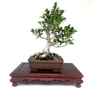 Ficus Retusa (Tiger bark Ficus)