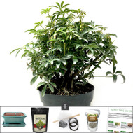 Large Air Root Hawaiian Umbrella Bonsai DIY Kit.