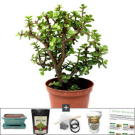 Premium Dwarf Jade Bonsai DIY Kit. Pruned Several Times to Add Trunk Movement and Branching.