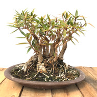 Shohin Clump Style Willow Leaf Ficus (WF603)