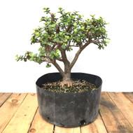 Medium Pre Bonsai Mini Jade (MJ825)