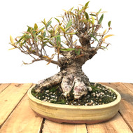 Shohin Size Willow Leaf Ficus In Paul Olson Pot (WF605)
