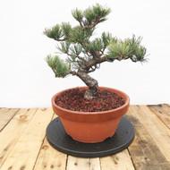 Japanese White Pine - Imported September 2017 (JWP004)