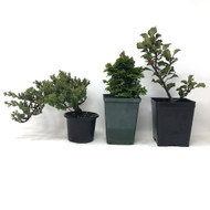 "3-pack Pre-Bonsai Material in 4"" Grow Pots."