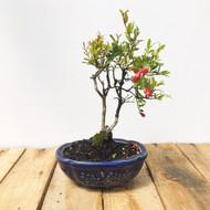 Flowering Pomegranate (WEB15)