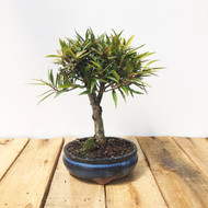 Willow Leaf Ficus (WEB18)