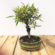 Willow Leaf Ficus (WEB19)
