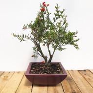 Flowering Pomegranate Bonsai (WEB28)