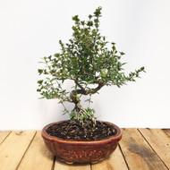 Flowering Serissa Bonsai (WEB31)