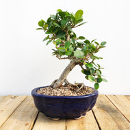 Green Island Ficus Bonsai (WEB55)