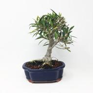 Small Ficus Nerifolia or Willow Leaf Ficus (WLF-01SM)