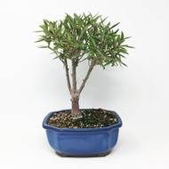 Medium Ficus Nerifolia or Willow Leaf Ficus (WLF-01MD)