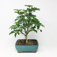 Hawaiian Umbrella Bonsai (HU-01)