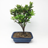 Flowering Coronado Red Azalea Bonsai (AZ-01)