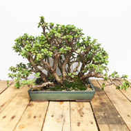 Mini Jade portulacaria afra Forest (MJ873)