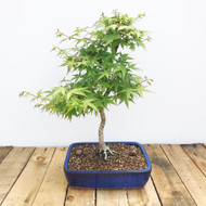 Japanese Maple (JM505)
