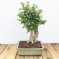 Trident Maple - with rock (TM833)