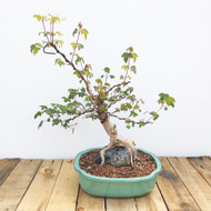 Root Over Rock Trident Maple (TM833-1)