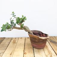 Privet Bonsai In Paul Olson Pot (PV513)