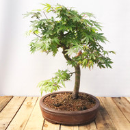 Japanese Maple (JM833)