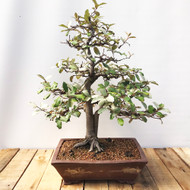 Silverberry Bonsai (SV821)