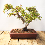 Japanese Maple With Twisted Trunk (JM837)