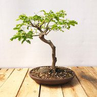Brazilian Rain Tree (BR822)