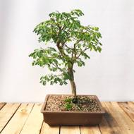 Brazilian Rain Tree (BR639)