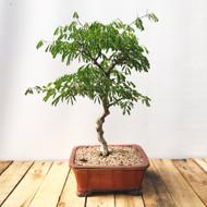 Brazilian Rain Tree (BR821)
