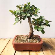 Green Island Ficus (GI830)