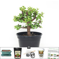 Compact Dwarf Jade Bonsai Tree DIY Kit. Perfect Indoor Bonsai For Beginners, Including Children.