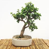 Dwarf Mini Jade (MJ829)