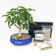 Hawaiian Umbrella Bonsai Tree Kit