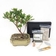 Flowering - Coranado Red - Azalea Bonsai Tree Kit