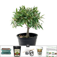 Compact Willow Leaf Ficus DIY Bonsai Tree Kit. Another Great Indoor Bonsai Tree.