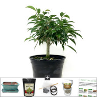 Compact Oriental Ficus Bonsai Tree Kit. Perfect For an Indoor Window Display.