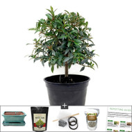 Refined Brush Cherry Bonsai Tree Kit Includes Everything You Need to Get Started. Perfect Indoor Bonsai.