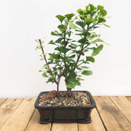 Ginkgo Bonsai (WEB393)