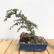 Cotoneaster Bonsai (WEB395)