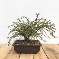 Cotoneaster Pre-Bonsai (WEB396)