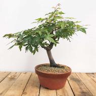 Japanese Maple in Tokoname Grow Pot (WEB400)