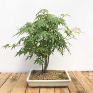Japanese Maple Grove (WEB401)